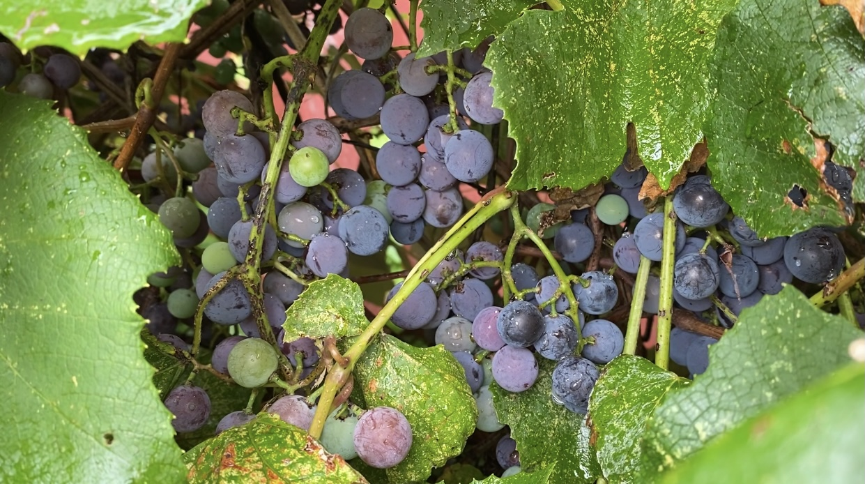 Harvesting Grapes With Gemplers