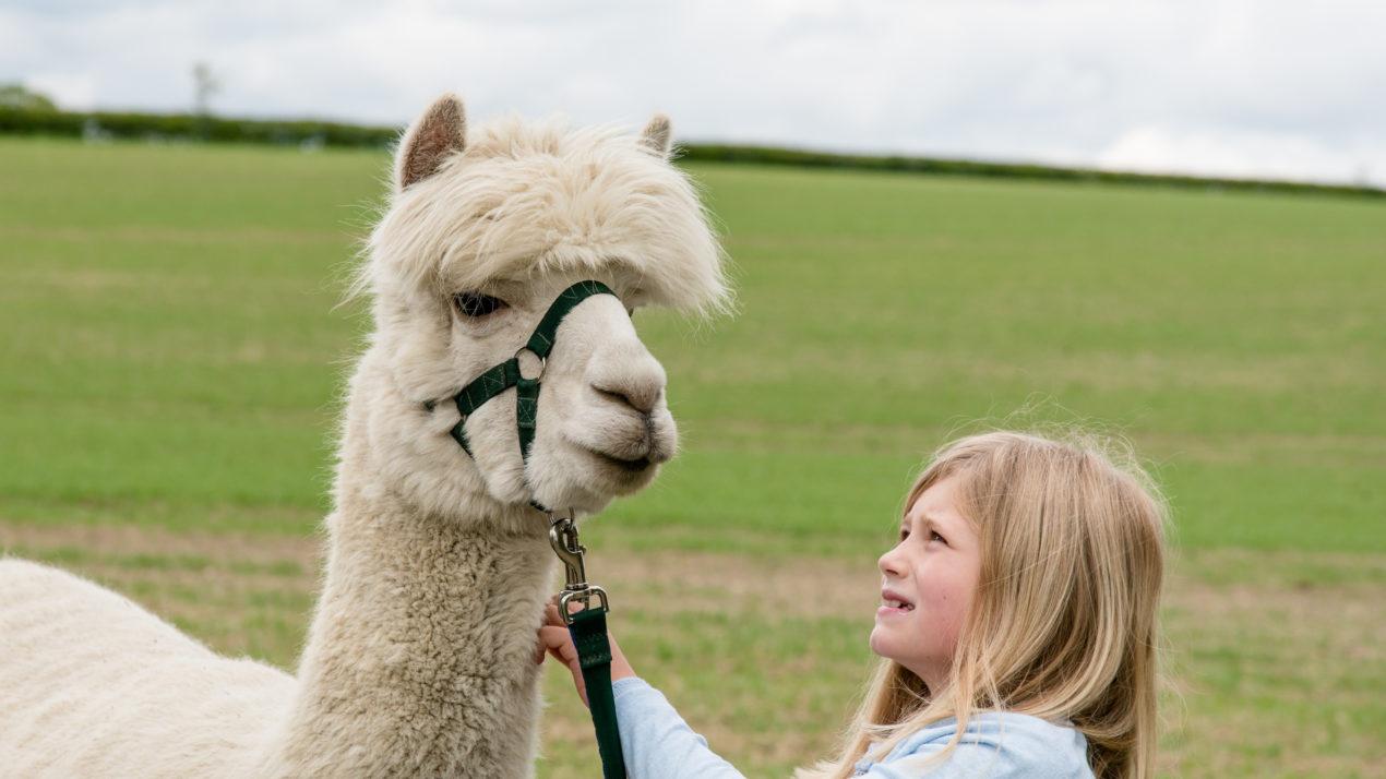 Alpaca Fiber Proves Popular