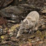 Changes To Furbearer Hunting Regulations