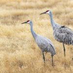 DATCP Explores Non-Lethal Crane Deterrent